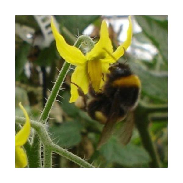 Colmena de abejorros
