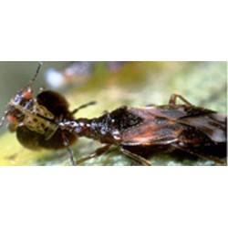 AnthoPAK. Anthocoris nemoralis