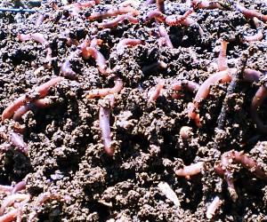 lombriz Eisenia Foetida