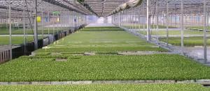 Invernaderos con semilleros de poliestireno