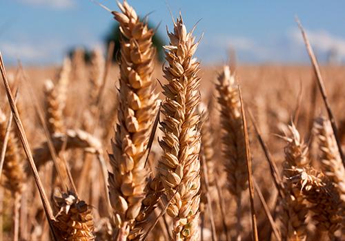 Novedades en herbicidas de cereal